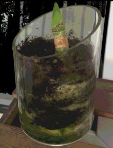 Aus der Erde in einem Glastopf ragt ein Reststil der alten Amaryllis. Aus dem Stil kommt ein spitzen junges Blatt.