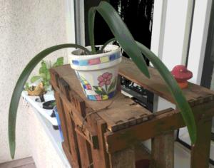 Aus einem helen Blumentopf, der auf einer Holzkiste auf einem Fensterbrett steht, ragen drei schmale lange Blätter im Bogen heraus.
