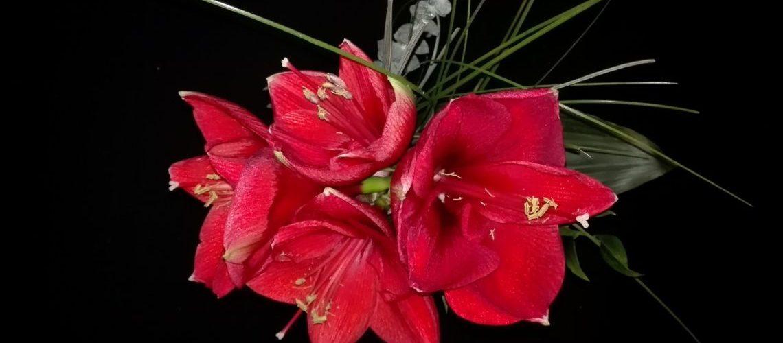 vier prächtige rote Amaryllisblüten, spitz zulaufende Blütenblätter um einen Blütenstand mit gelben Enden. Schwarzer Hintergrund. Gräser als Dekoration hinter den Blüten.